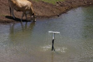 Cattle-drinking-at-the-dam-300x199