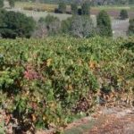 Iron Scale in Irrigation Pipes in Vineyard
